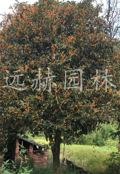 矮杆大丹桂