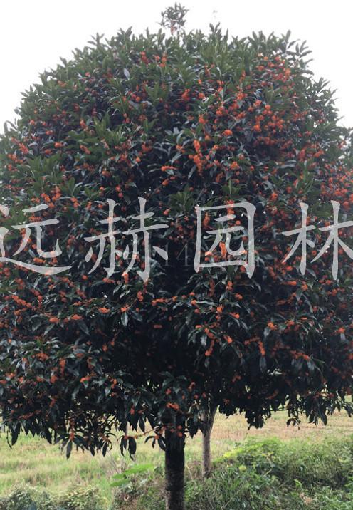 高杆大丹桂