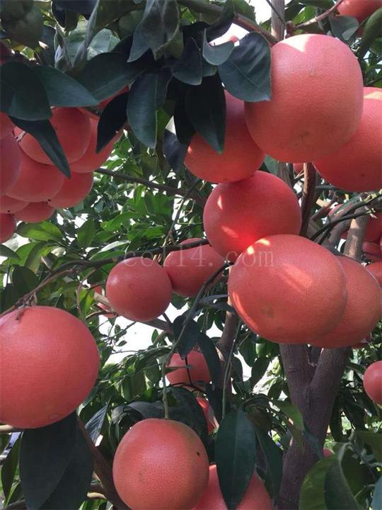 红宝石葡萄柚