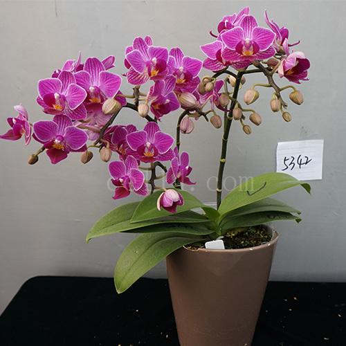 漳州JB5342蝴蝶兰