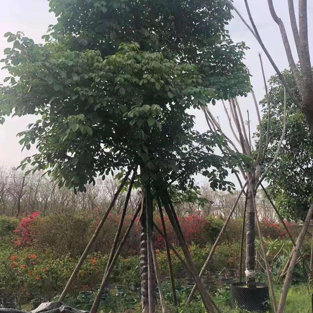 漳州秋枫袋苗