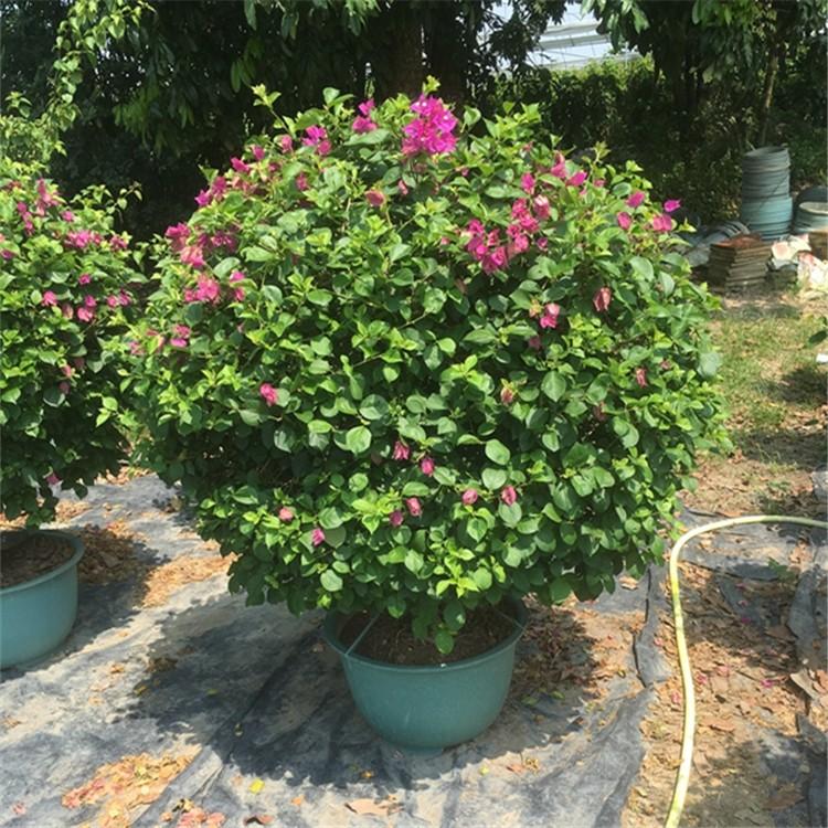 漳州三角梅园艺盆栽