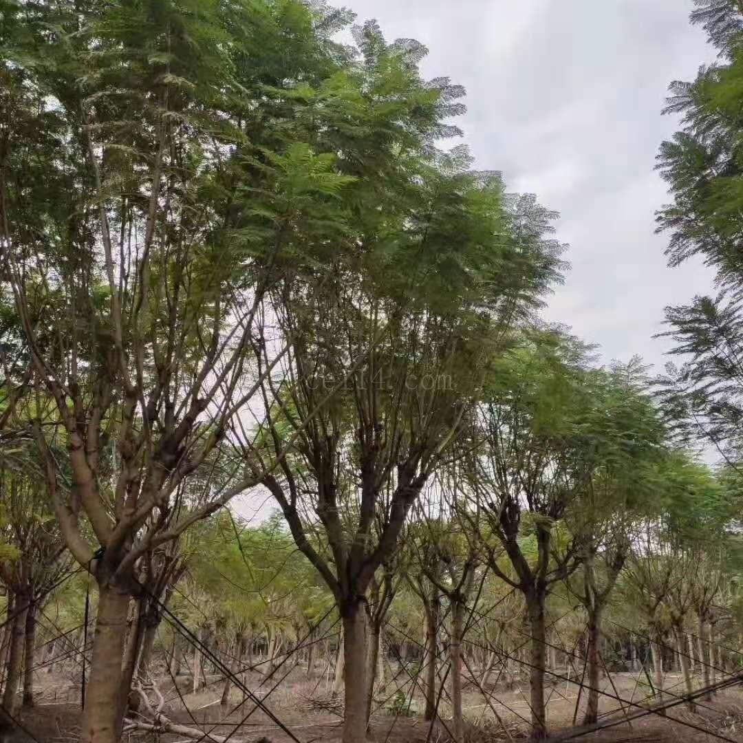 漳州蓝花楹苗木