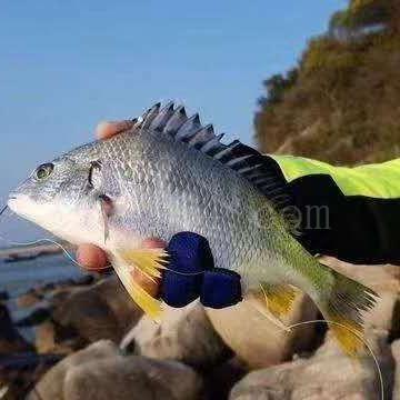 漳州新鲜冷冻黄翅鱼