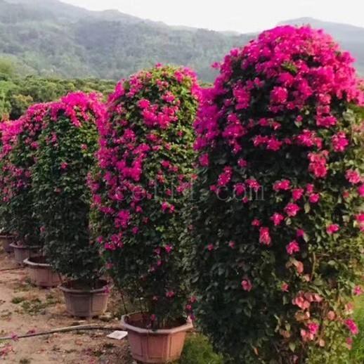 漳州紅色三角梅柱子