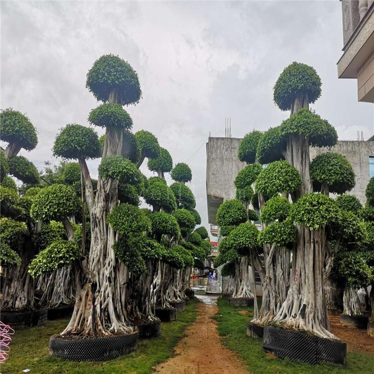 漳州小叶榕造型
