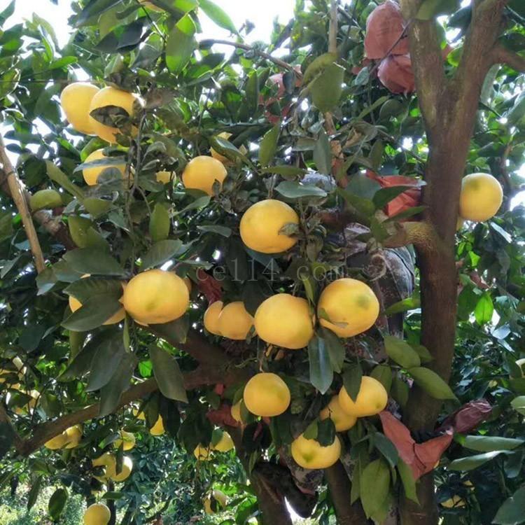 漳州红肉蜜柚苗