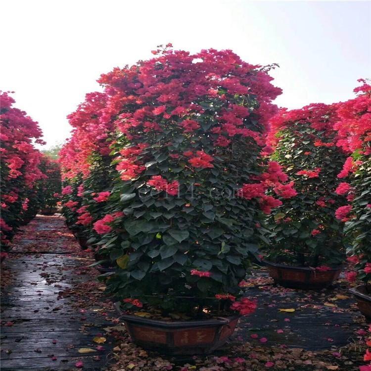 福建漳州红花柱形