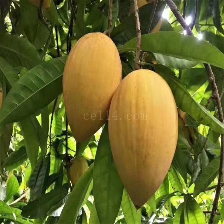 漳州蛋黄果