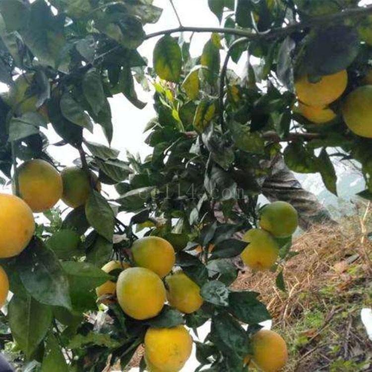 漳州木瓜蜜丁