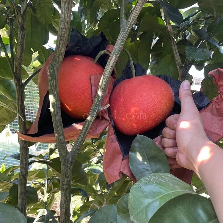 漳州平和 中国红 习柚1号