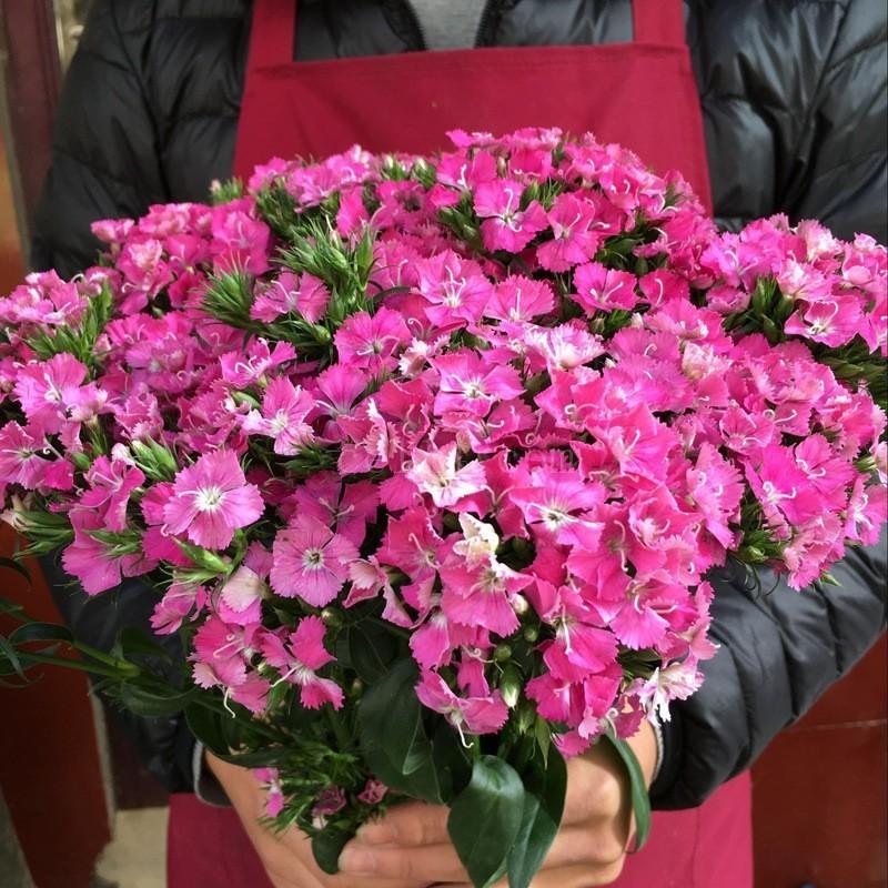 漳州龙海多品种多花色的石竹批发