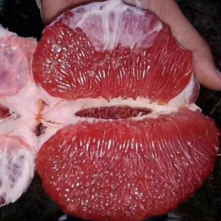 漳州泰国红宝石苗