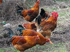 龙岩土鸡养殖