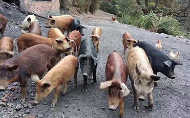 龍巖放養土豬