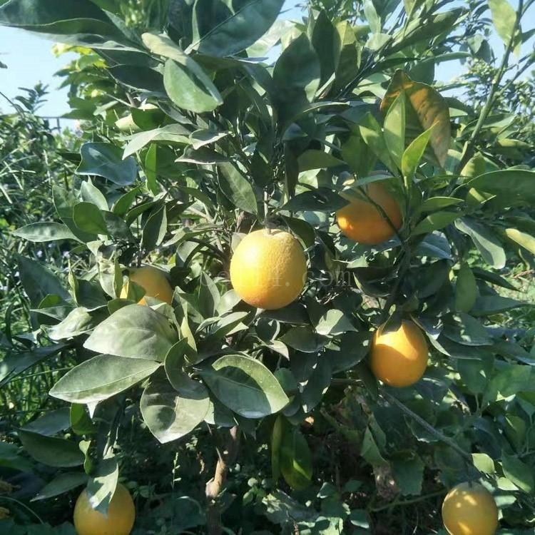 漳州平和御橙苗
