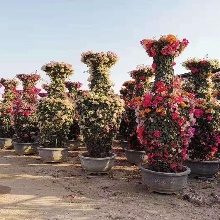 漳州三角梅花瓶 花瓶造型多色三角梅