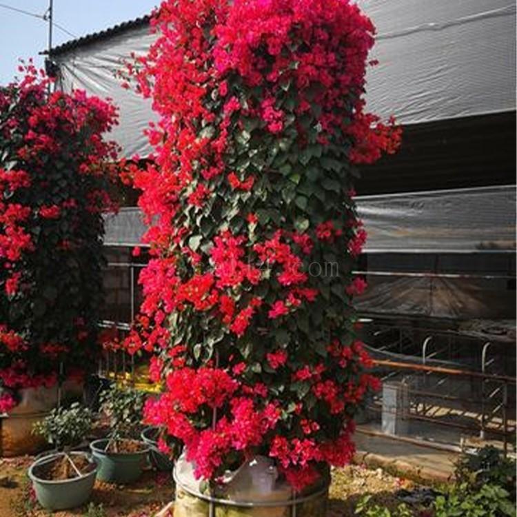 漳州红色花三角梅花柱