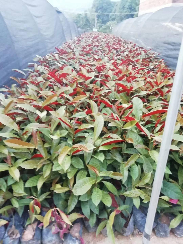 漳州红背桂,物美价廉质量优