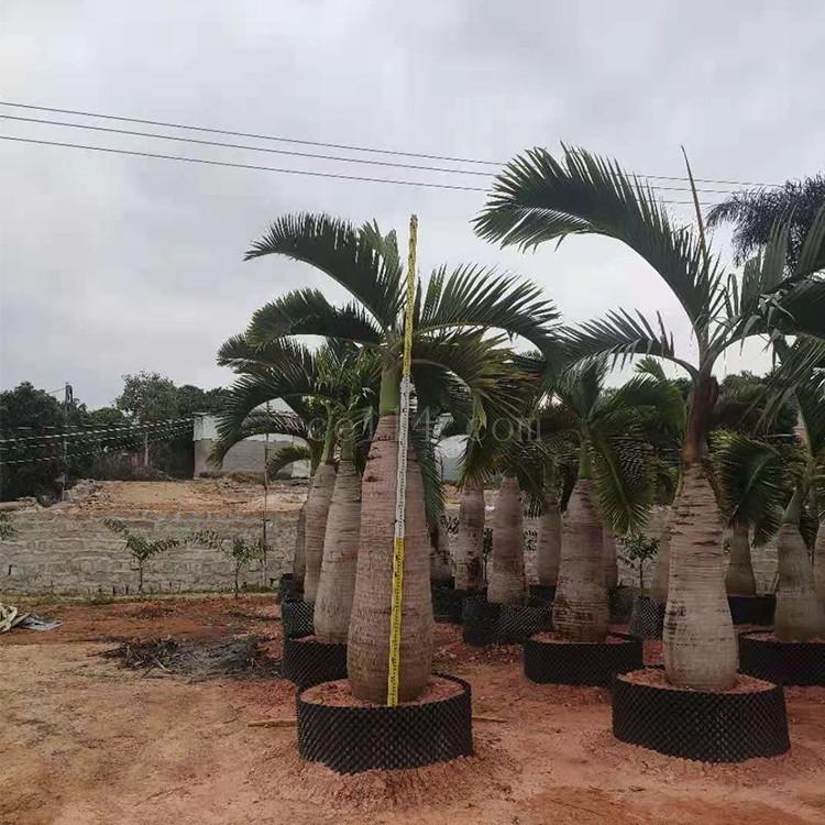 漳州基地批发酒瓶椰子移植苗 酒瓶椰子