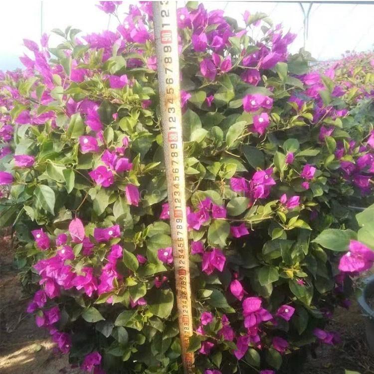 漳州三角梅球 90cm紫花球型三角梅批发