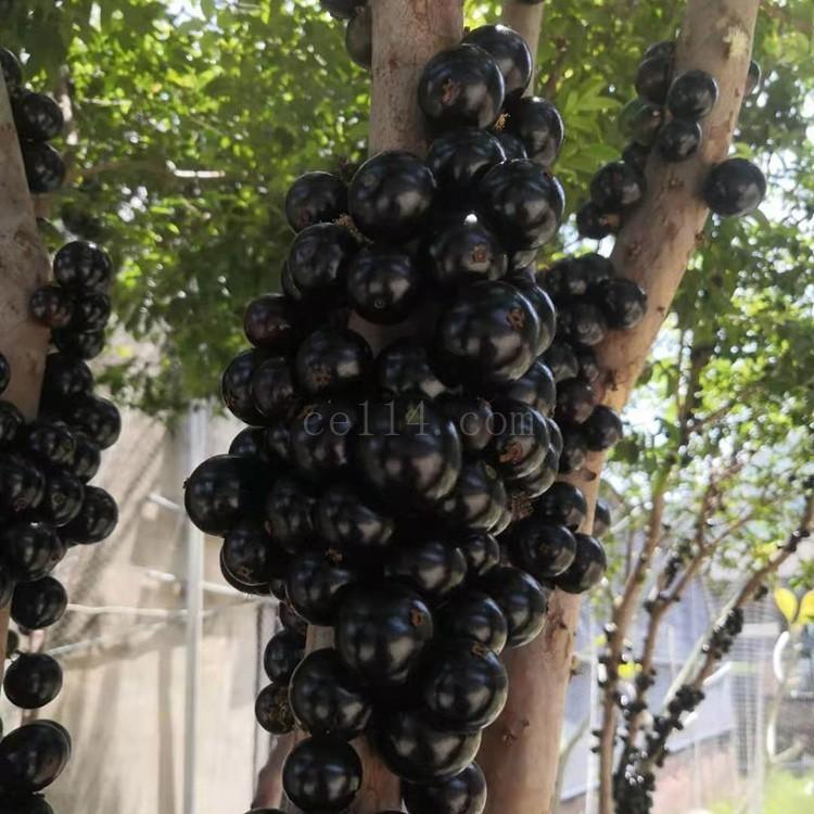 漳州自产自销树葡萄