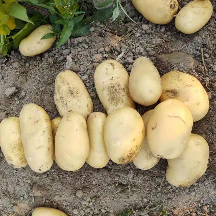 (南安生鲜农产品物流配送)马铃薯
