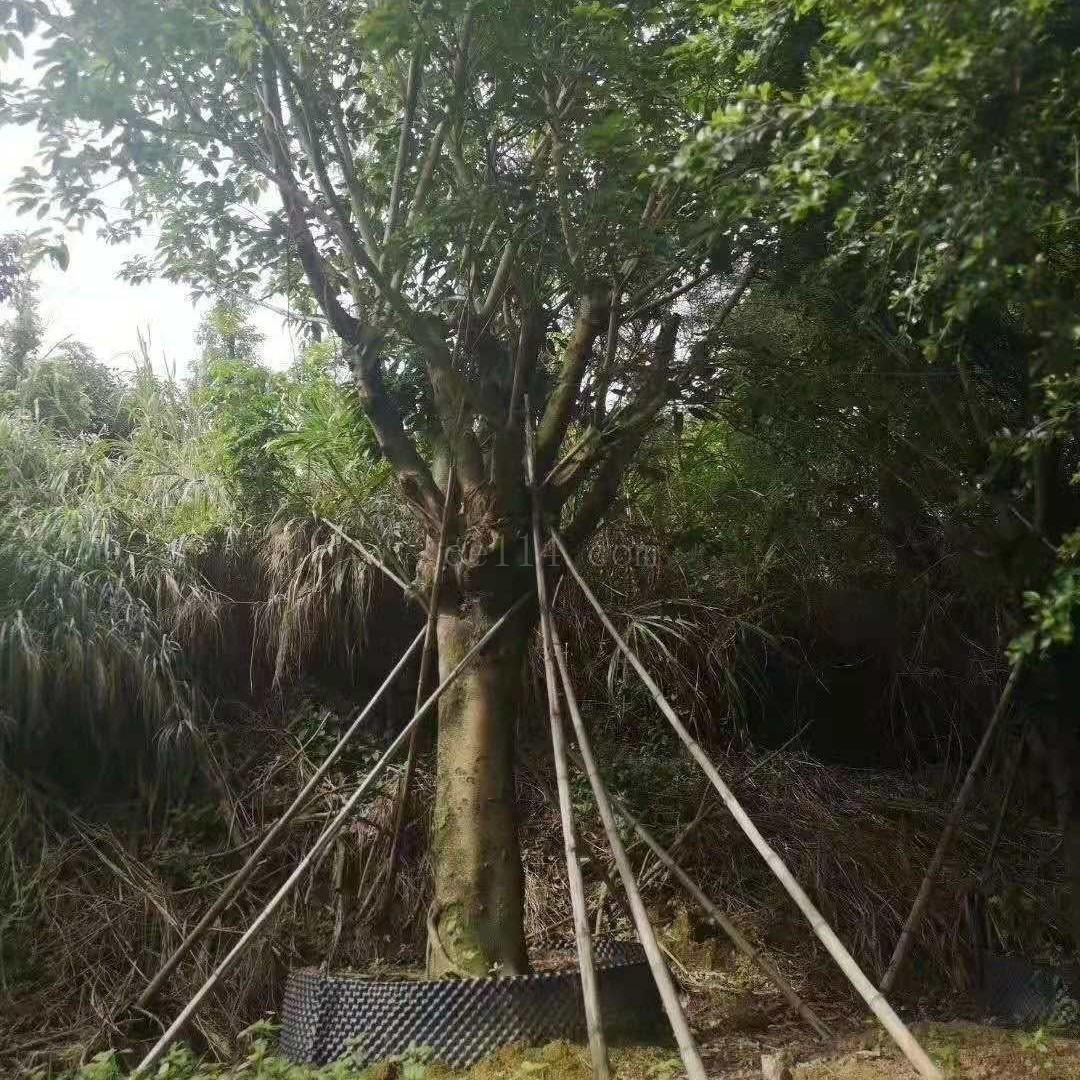 厦门优质苗木种植基地批发大叶榕乔木