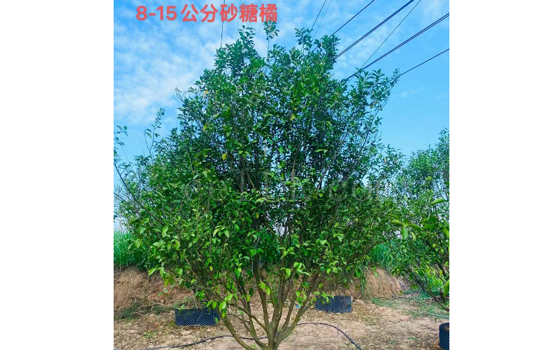 漳州砂糖橘苗木出售
