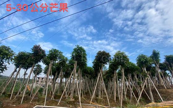 漳州果树苗木批发