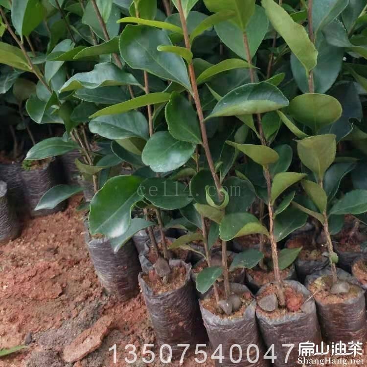 龙岩油茶苗供应