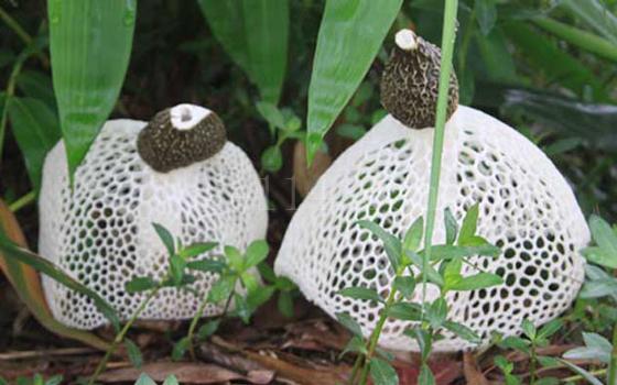 龙岩竹荪批发市场