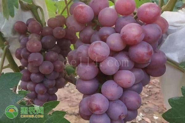 无籽葡萄是转基因吗?