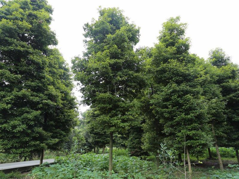 金丝楠木群的发现