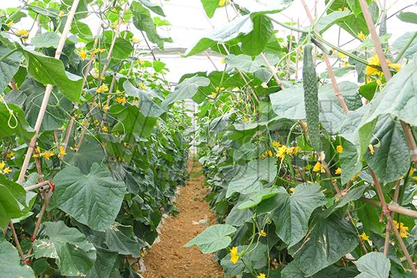 龙岩蔬菜温室大棚建设阶段